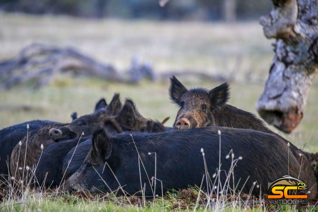 California Wild Pig Hunting Guides | California Wild Pig Hunts - Wild Hogs California Map