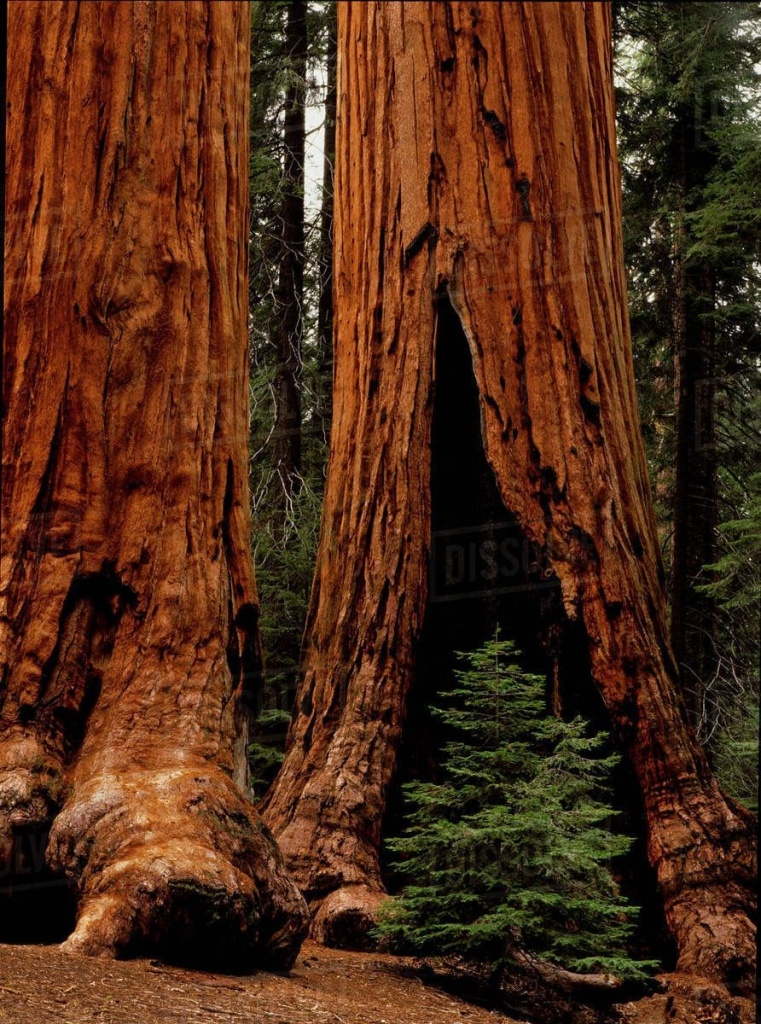 Giant Redwood Trees Of Sequoia National Park   World-Building In - Giant Redwood Trees California Map