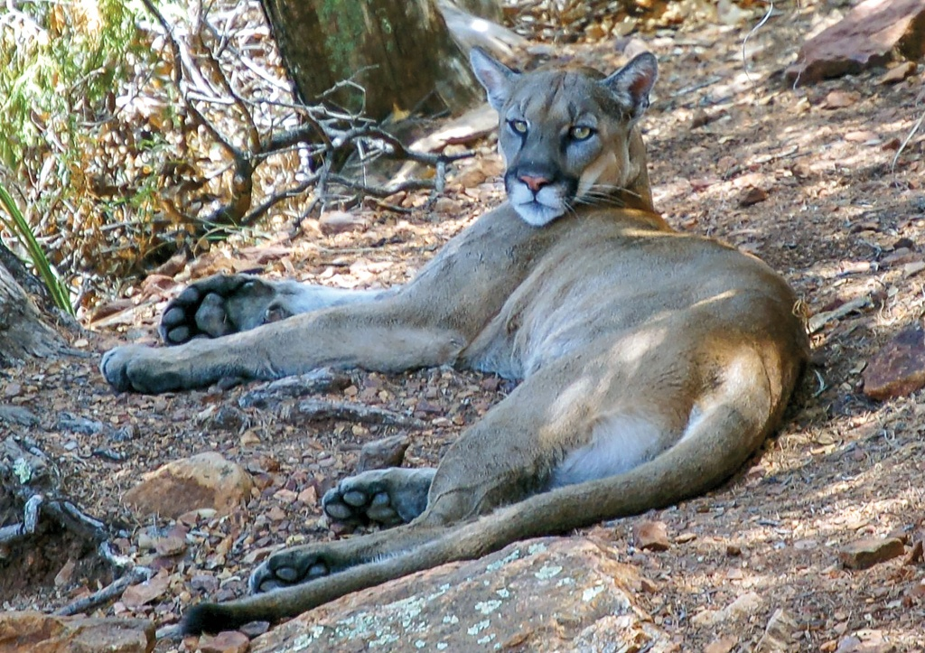 Tracking Elusive Mountain Lions In The Mountains Of West Texas - Mountain Lions In Texas Map